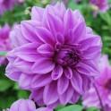 Bulbi dalia Lilac Time