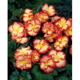 Begonia Crispa Marginata Yellow
