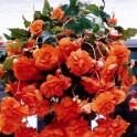 Begonia Curgatoare Orange