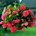 Begonii Pendula Curgatoare Roz