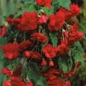 Begonia Curgatoare Rosie