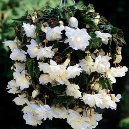 Begonia curgatoare Alba
