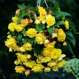Begonia Curgatoare Yellow