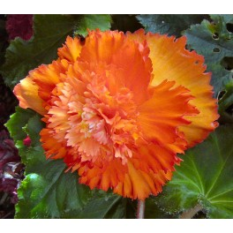 Begonia Dubla Copper