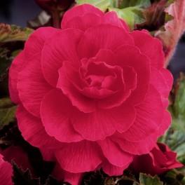 Begonia cu flori mari roz