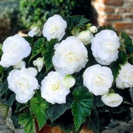 Bulbi Begonia cu flori mari albe