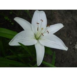 Bulbi de crini Asiatic White
