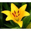 Bulbi crini Asiatic Yellow