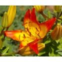 Bulbi crini Asiatic Cancun