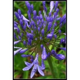 Bulbi Agaphantus Blue