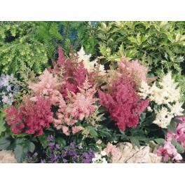 Radacini Astilbe Mixte