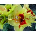Bulbi de gladiole Safari