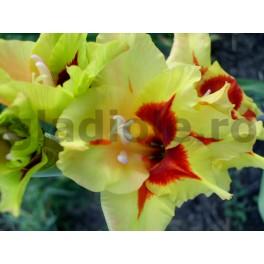 Bulbi de gladiole Safari