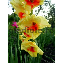 Bulbi de gladiole Jester