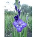 Bulbi de gladiole Blue Isle
