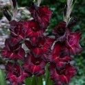 Bulbi de gladiole Black Surprise