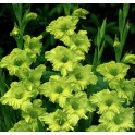Bulbi de gladiole Green Star pachet de 8 bulbi