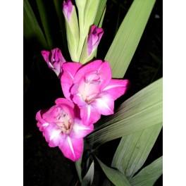 Bulbi de gladiole Dared