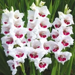 Bulbi de gladiole Fiorentina