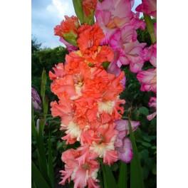 Bulbi de gladiole franjurate Coral Lace pachet 8 bulbi
