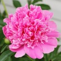 Bujori roz radacini cu doi si trei ochi