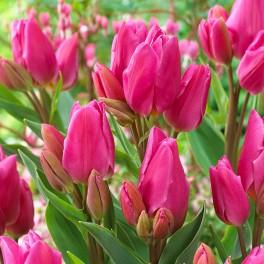 Bulbi lalele multiflorale Happy Family 10 bulbi