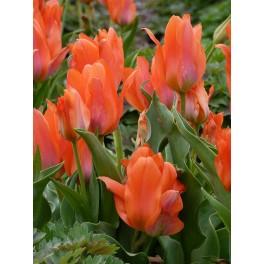 Bulbi de lalele Orange Bouquet pachet 10 bulbi