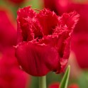 Lalele franjurate rosii Red Wing pachet 10 bulbi