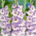 Bulbi de gladiole Blue Frost