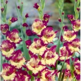 Bulbi de gladiole Dynamite