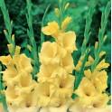 Bulbi de gladiole Nova Lux pachet 10 bulbi