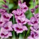 Bulbi de gladiole Passos