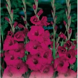 Bulbi de gladiole Plumtart
