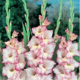 Bulbi de gladiole Priscilla