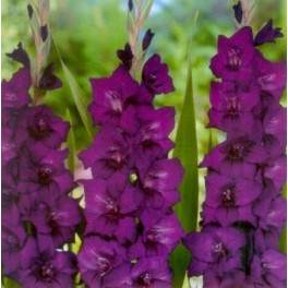 Bulbi de gladiole Purple Flora