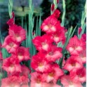 Bulbi de gladiole Spic and Span