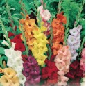 Bulbi de gladiole Mixte