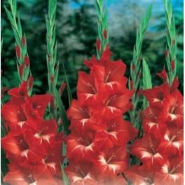 Bulbi de gladiole Traderhorn