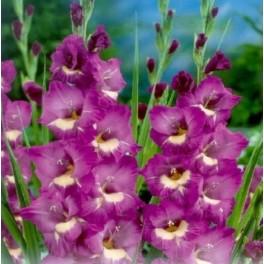 Bulbi de gladiole Windsong