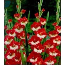 Bulbi de gladiole Mme de Paris