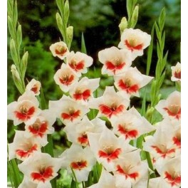 Bulbi de gladiole Shocking