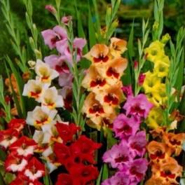 Bulbi de gladiole Fluture Mixte